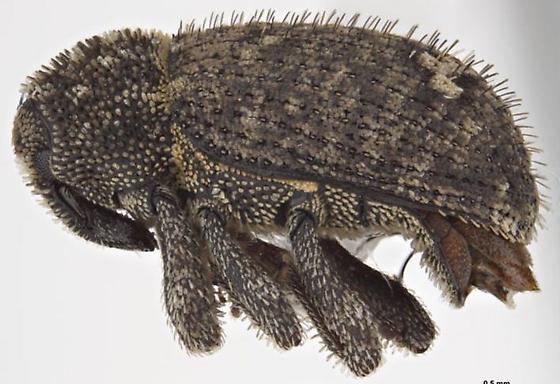Euscepes postfasciatus