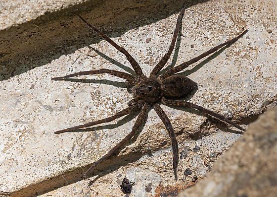 Large spider on small concrete spillway - Dolomedes vittatus