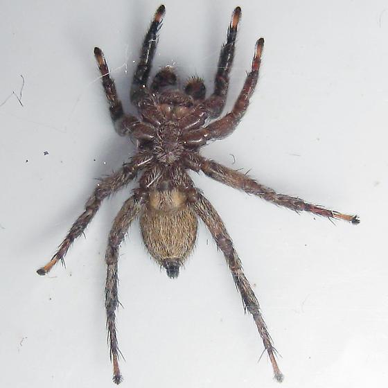 Phlegra hentzi - male
