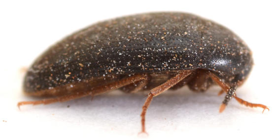 beetle from under bark of dead Quercus stellata - Eustrophopsis bicolor