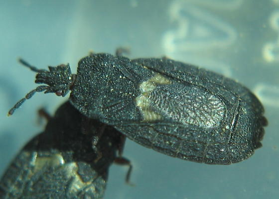 Flat Bark Bug - Neuroctenus