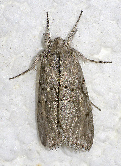 Supralathosea baboquivariensis