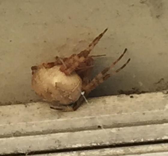Spider in Wisconsin - Araneus diadematus