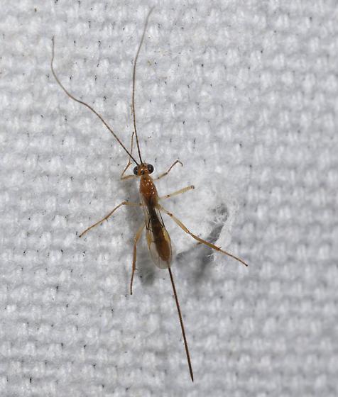 Slender wasp at the mercury vapor lamps - Macrocentrus - female