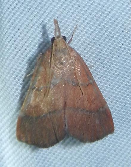 Lepidoptera - Lepidomys irrenosa