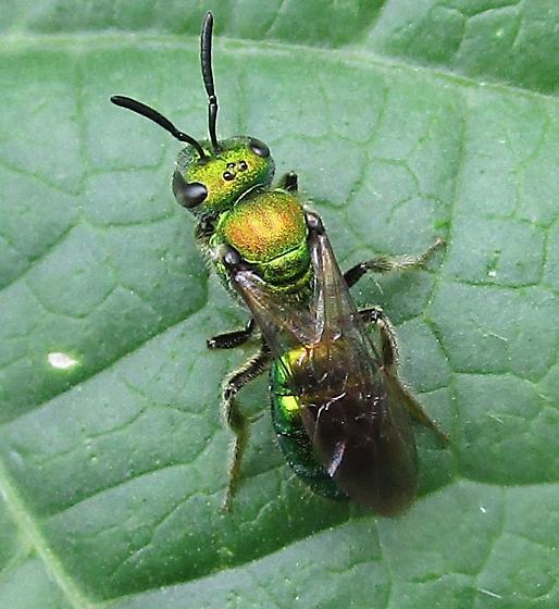 Bee 4 - Augochlora pura