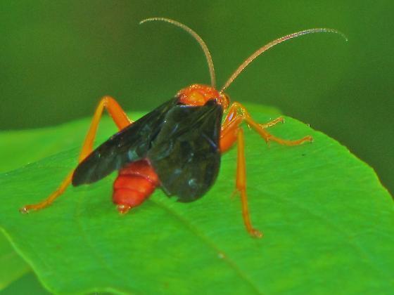 Id help needed - wasp. - Trogus pennator