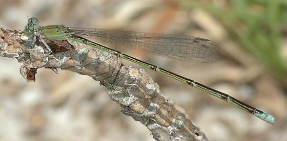 Pale Bluet - Enallagma pallidum - female