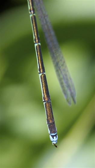 Female Stream Bluet - Enallagma exsulans - female