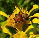 fly - Gymnoclytia