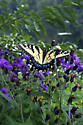 Butterfly atop Ironweed - Papilio glaucus