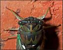 Southern Swamp Cicada - Tibicen tibicen