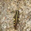 Grasshopper - Schistocerca albolineata - male