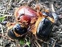 Pleocoma hovorei - male - female