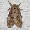 Streaked Tussock Moth - Hodges#8302 - Dasychira obliquata