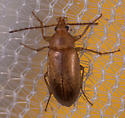 Brown Beetle - Isomira sericea
