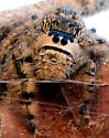 Large Jumping Spider Tending Eggs - Phidippus otiosus - female