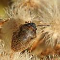 Shield-backed Bug - Homaemus aeneifrons