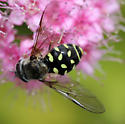 Which Hoverfly is this? - Dasysyrphus intrudens