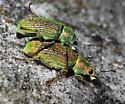 Green Immigrant Leaf Weevil - Polydrusus formosus - male - female
