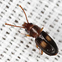 Lined Flat Bark Beetle - Laemophloeus fasciatus