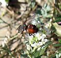 Tachinidae 9-10-09 01a