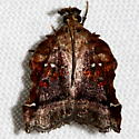 Trumpet Vine Moth - Clydonopteron sacculana - male