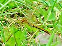Saffron-winged Meadowhawk (Sympetrum costiferum) - Sympetrum costiferum - female
