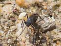 Purple and black hunting wasp - Priocnemis minorata
