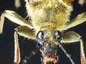 Golden-haired Flower Longhorn - Lepturobosca chrysocoma