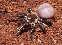 Trapdoor spider - Ummidia - female