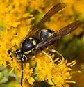 Vespula on goldenrod - Vespula atropilosa - male