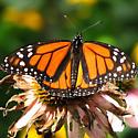Viceroy butterfly? - Danaus plexippus - male