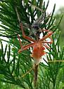 spider like, pinkish - Arilus cristatus