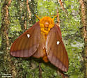 Pink-striped Oakworm Moth - Hodges#7723 (Anisota virginiensis) - Anisota virginiensis - female