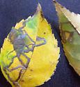 Carya texana corridor mine - Stigmella caryaefoliella