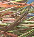 Toothpick Grasshopper  - Leptysma marginicollis