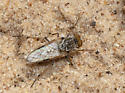 Mescalerso Sands fly