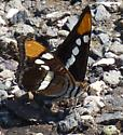 butterfly, big, maybe a sister ? - Adelpha eulalia
