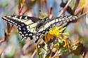 Anise Swallowtail (Papilio zelicaon zelicaon) - Papilio zelicaon