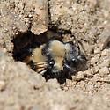 Melecta sp. exiting an A. pacifica burrow - Melecta separata