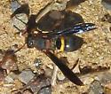 Bee Wolf - Philanthus sp or Cerceris sp? - Euodynerus crypticus - female