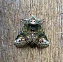 Moth - Heterocampa subrotata