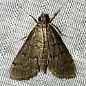 Herpetogramma phaeopteralis