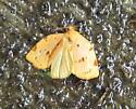 Southern Ugly-nest Caterpillar Moth - Hodges#3662 - Archips rileyana