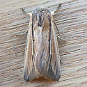 Many-lined Wainscot (Leucania multilinea) - Leucania multilinea