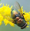 Blow Flies Genus Lucilia Male - Lucilia illustris