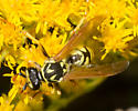 Yellow-legged wasp - Polistes dominula