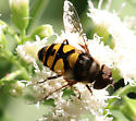 Syrphid fly  - ID Requested - Eristalis transversa - male