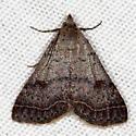 Bent-winged Owlet Moth - Bleptina caradrinalis